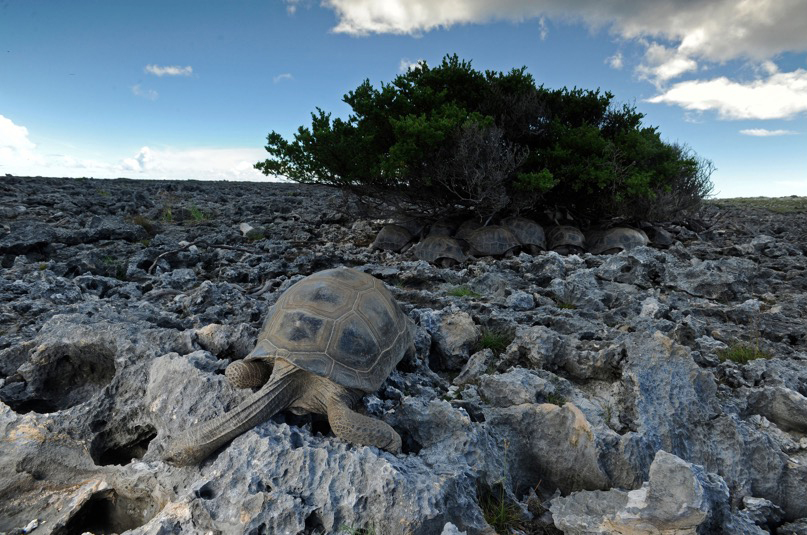The main thing tortoises on Aldabra need to survive is shade—if they are not in a cool space by mid-morning they cook in their shells. Photograph by Thomas P. Peschak